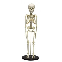 Esqueleto de niño 5 años