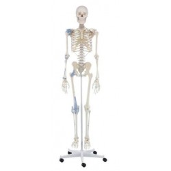 Esqueleto con ligamentos otto