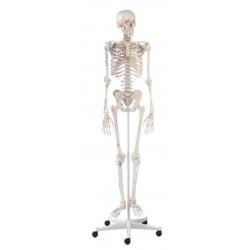 Modelo esqueleto arnold con marcas musculares