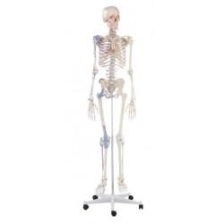 Modelo esqueleto bert con marcas musculares y ligamentos