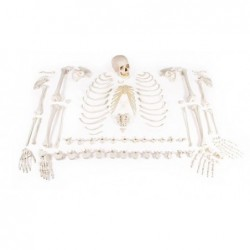 Esqueleto desarticulado